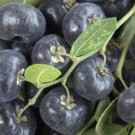 picture of blueberries for rollerderbytape.com